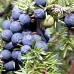 Prospect Fructe de Ienupar