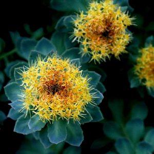 Rhodiola Rosea antistress si antidepresiv