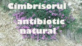 Cimbrisorul - Antibiotic Natural