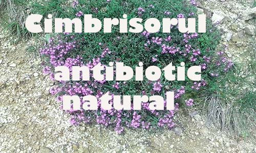 Cimbrisorul - Antibiotic Natural