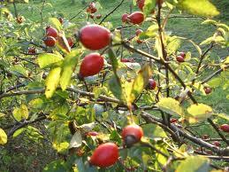 Tratament naturist cu Fructe de Macese